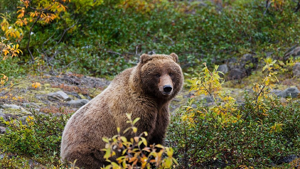 /images/r/grizzly-bear-861962-2/c960x540g0-101-1920-1181/grizzly-bear-861962-2.jpg